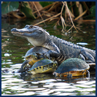 Alligator with Turtles